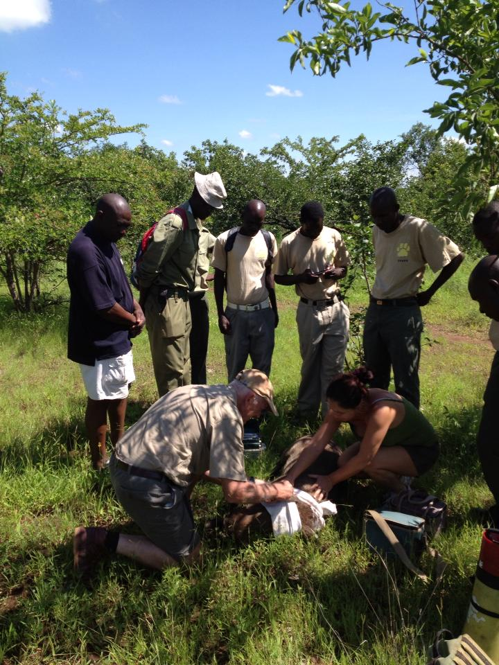 Snared warthog rescued